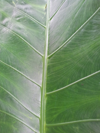 Elephant ear taro leaf in the jungle Stock Photo