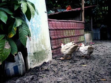 two ducks scarving for food outside hen house