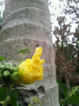 bud of yellow roses in the garden