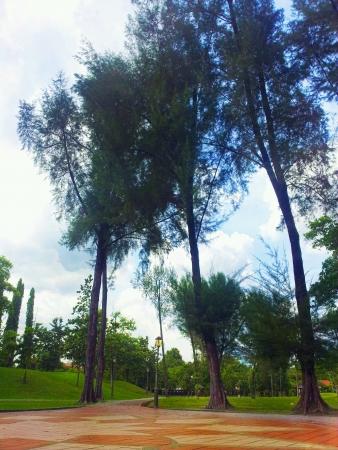 titiwangsa: pine trees at tasik titiwangsa
