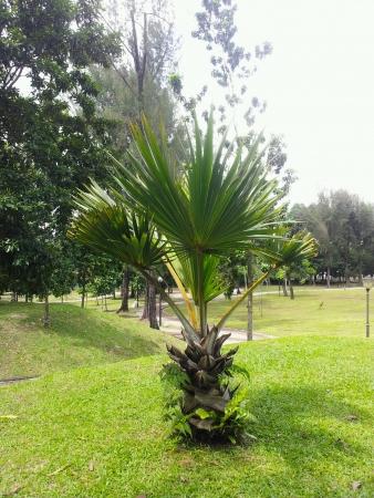 titiwangsa: oil palm tree at taman tasek titiwangsa