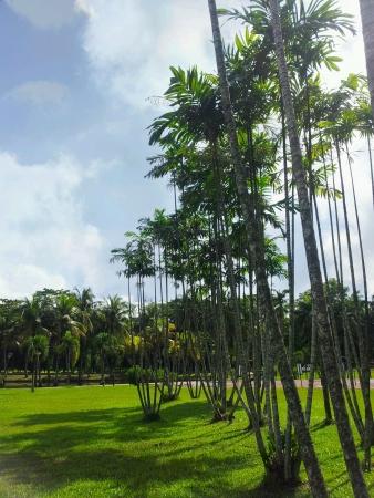 titiwangsa: Palm trees plants at titiwangsa park