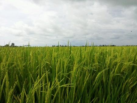 padi: Panaromic view of padi field sekinchan