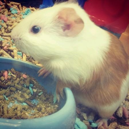 Cute hamstet ready to eat