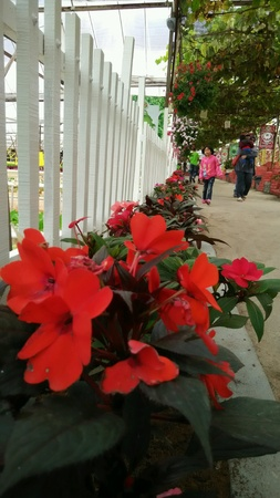 Red flower beside white fence Stock Photo