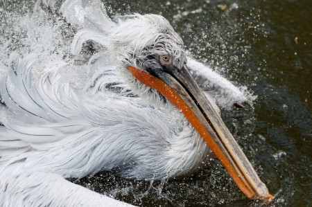 Bathing pelican in Prague ZOO photo