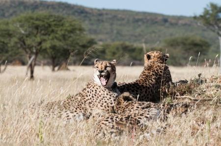Yawning Cheetah in the private reserve Okonjima in Namibia