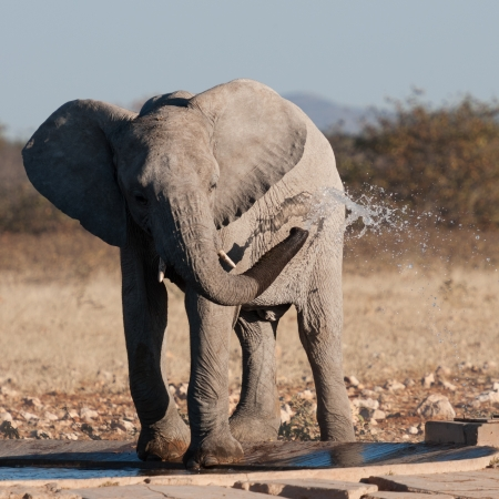 refreshes: Baby elephant refreshes at the watering hole in the Etosha national park in Namibia