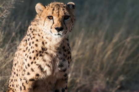 Old Cheetah in the private reserve Okonjima in Namibia