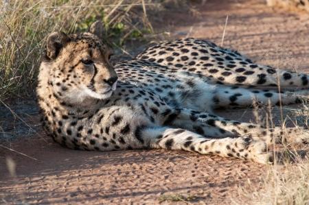 okonjima: Resting Cheetah in the private reserve Okonjima in Namibia