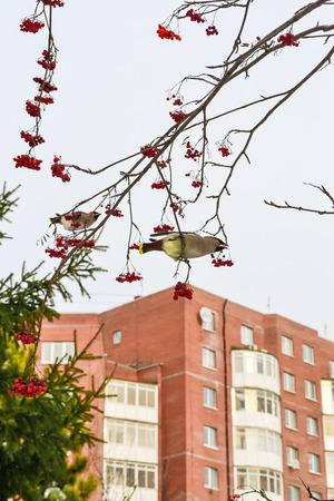 bird eat berries on a tree