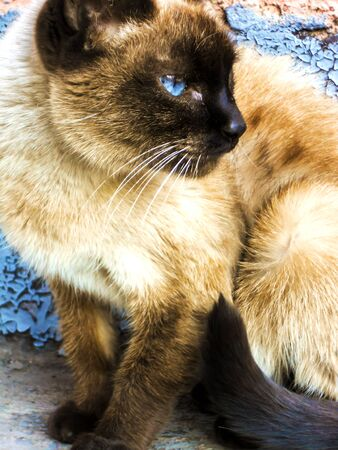 Siamese cat with blue eyes close-up Stok Fotoğraf