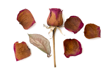 dry rose and petal isolated over white