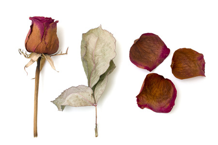 dry rose and sheet isolated over white