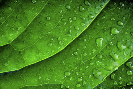 wet leaf: background of green wet leaf of an exotic plant with water drops close-up Stock Photo
