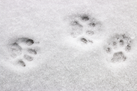 Tres huellas del gato en la nieve Foto de archivo - 66320379