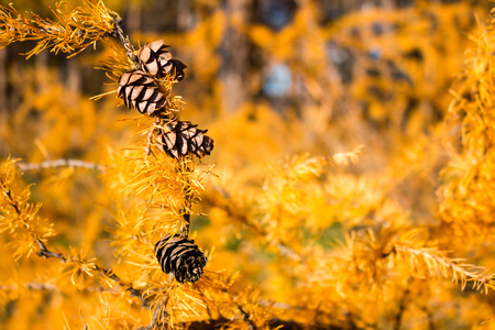 autumnal larch cones on a yellow background selective focus Stock Photo