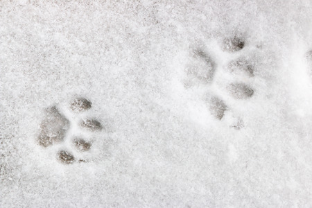 feline: two feline footprints in the snow Stock Photo