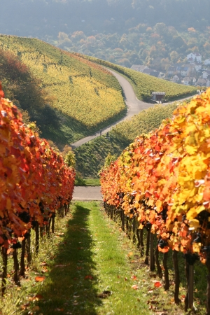 Autumn scene of german vineyard  photo