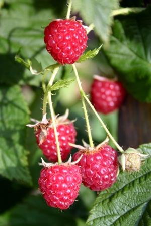 Close up of rasberries ripening on a bush