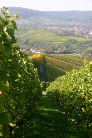German vineyard Stock Photo