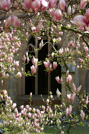 Magnolia at Maulbronn monastry Stock Photo