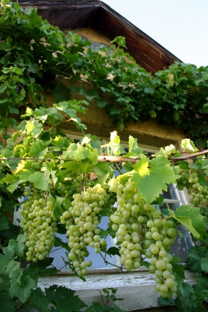 White grapes ripening in the sun