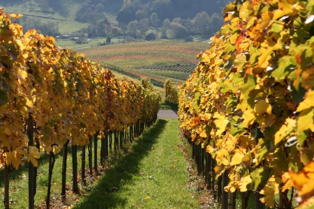German vineyard in autumn photo