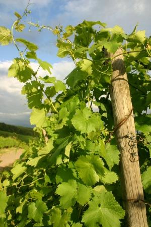 Stormy sky over german vineyard