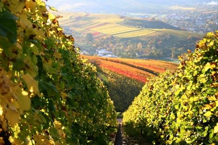 German vineyard in autumn