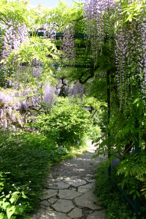 pendular: Wisteria hanging over a footpath Stock Photo