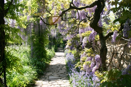 Wisteria hanging over a footpath Stock Photo
