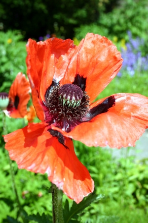 Close up of red poppies  Stock Photo