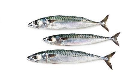 "Atlantic mackerel Boston mackerel - mediterranean fish Mackerel ""Scomber scombrus"""