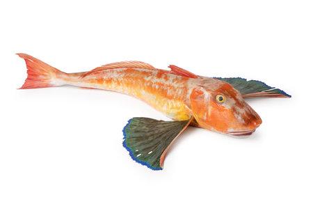 Tub Gurnard, Chelidonichthys lucerna, Gurnard Tubefish Gallinella or Pesce Fagiano, typical italian fish