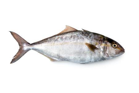 Greater amberjack, Seriola dumerili, Amberjack, mediterranean fish, isolated on white background