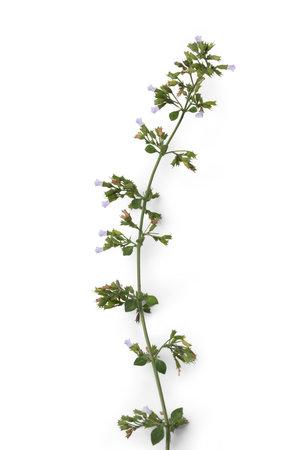 Lesser Calamint (Clinopodium Nepeta) from Sicily - aka