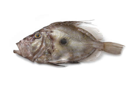 Peter's Fish, John Dory, Zeus faber, St Pierre, isolated on white background