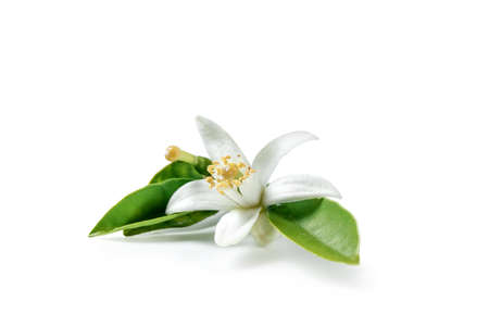 Orange blossom isolated on white background Stok Fotoğraf