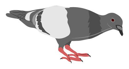 pidgeon: 2D Illustration Pidgeon in feeding pose