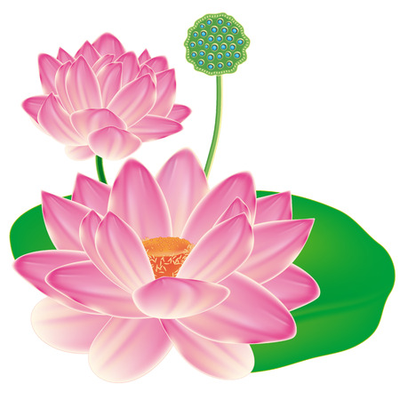 Realistic Oriental lotus - a flower isolated with a sheet, a full-blown bud and fruit box. Vector illustration.