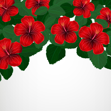 vacaton: Floral design background  Hibiscus flowers
