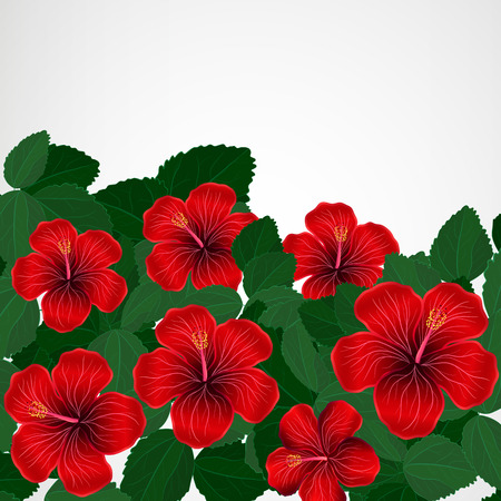 vacaton: Floral design background. Hibiscus flowers.