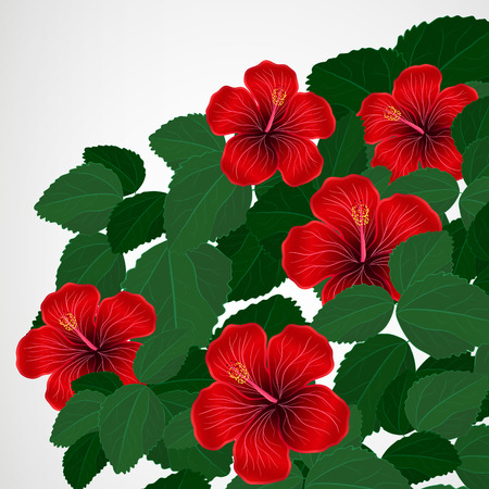 beautiful red hibiscus flower: Floral design background. Hibiscus flowers.
