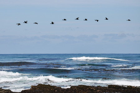 cape of good hope: Surf Scoters at Cape of Good Hope Beach Stock Photo