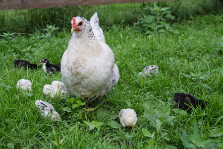 A white hen walks on the green grass with her Chicks