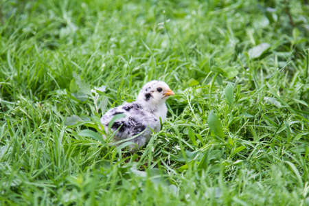 A small chicken in the grass is looking for food Banque d'images
