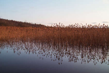 Botanical background. Grass growing in the water is reflected in the water. Horizontal background