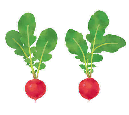 Watercolor-style radish illustration of vegetables