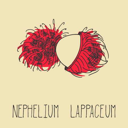 rambutan: Hand drawing illustration of rambutan. Fresh fruit sketch background. Vector illustration for your design. Nephelium lappaceum